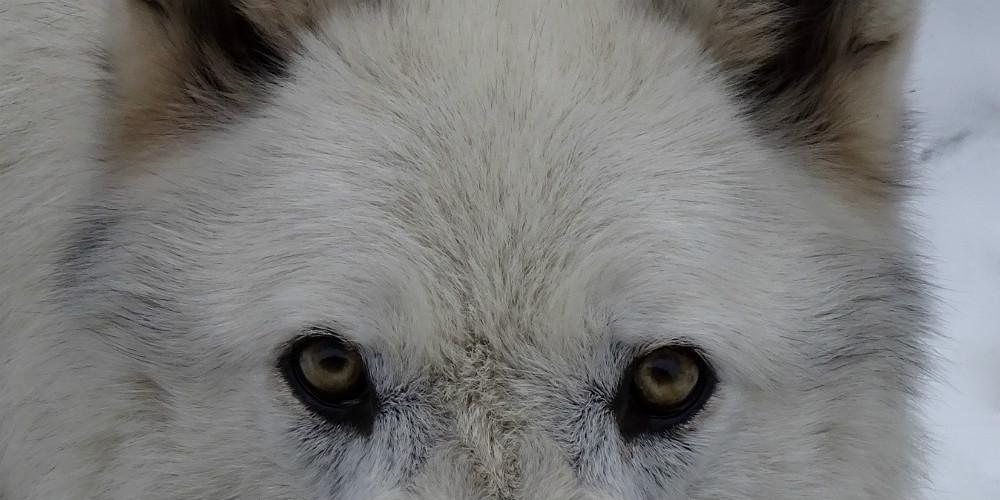 Yukons schöne Augen