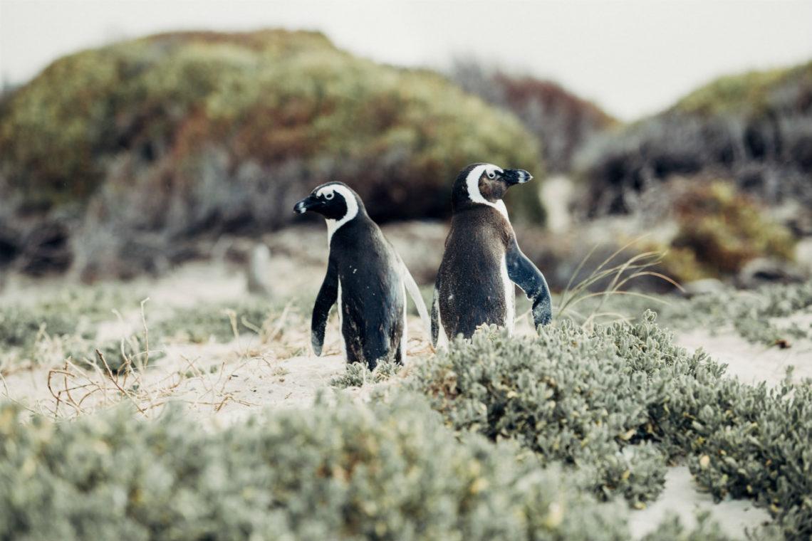 Dramaqueens im Frack: Pinguine