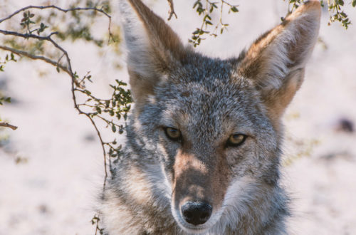 wachsamer Koyote