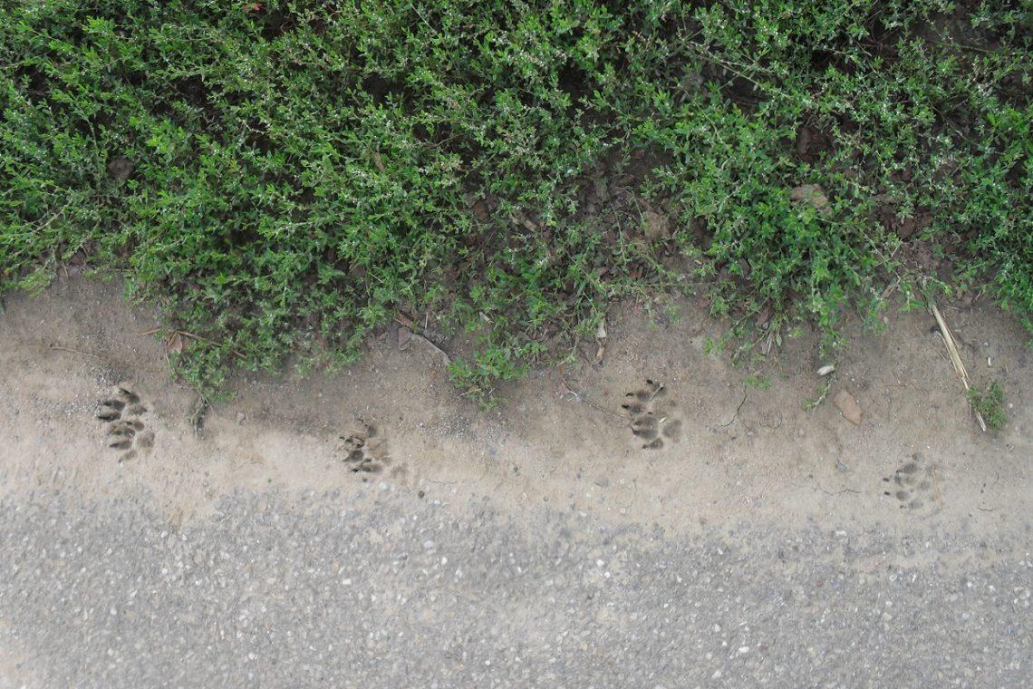 Pfotenabdrücke eines trabenden Fuchses