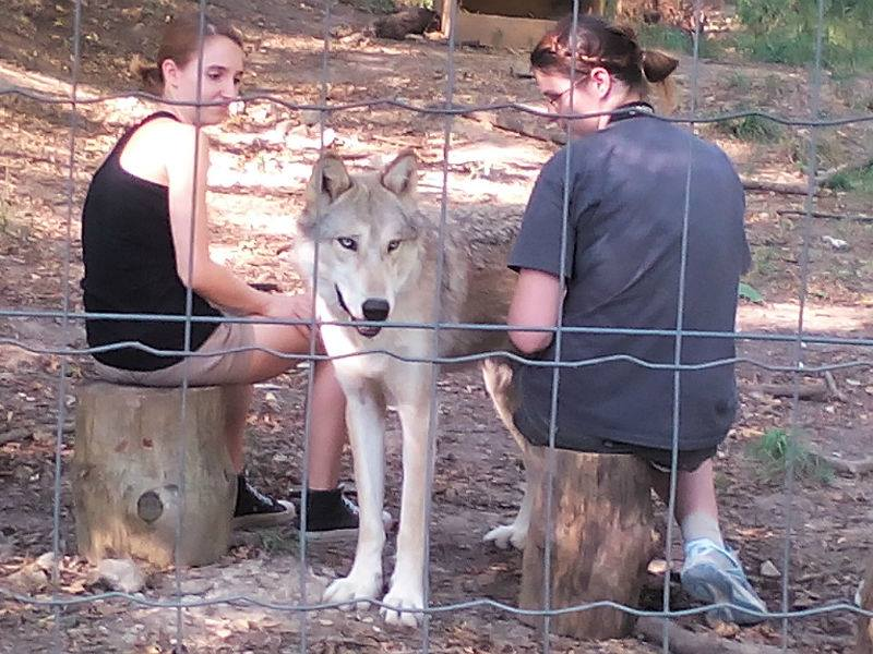 Timberwolf Chitto mit Studentinnen am Wolf Science Center