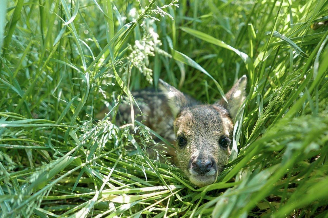 Rehkitz im hohen Gras