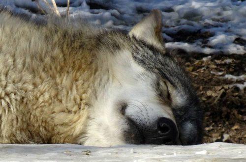 Timberwolf Etu schläft im Schnee