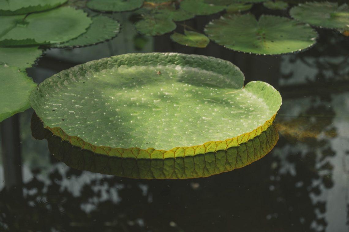 Seerosenblatt im Wasser